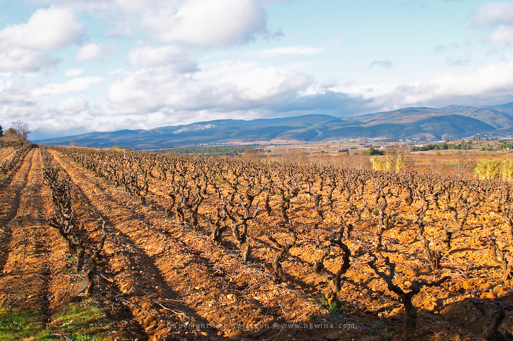 Domaine Jean Baptiste Senat. In Trausse. Minervois. Languedoc. Carignan grape vine variety. Vineyard in winter. France. Europe. Vineyard. Mountains in the background.