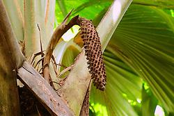 19.07.2015, Insel Praslin, SYC, auf den Seychellen, im Bild maennlicher Samenstand der Seychellenpalme (Lodoicea maldivica), Vallee de Mai Nationalpark, Unesco Welterbe // Holiday on the Seychelles at the Insel Praslin, Seychelles on 2015/07/19. EXPA Pictures © 2015, PhotoCredit: EXPA/ Eibner-Pressefoto/ Schulz<br /> <br /> *****ATTENTION - OUT of GER*****