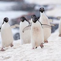 Adelie penguins walk along the shoreline at Brown Bluff, Antarctica.
