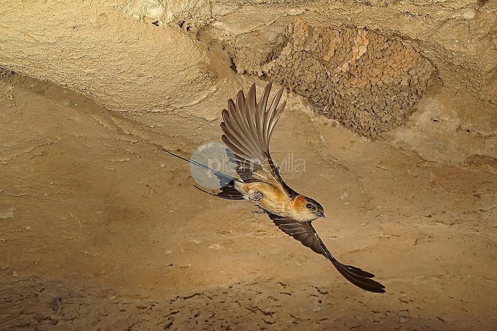 Golondrina gaurica © / PILAR REVILLA ©Country Sessions / PILAR REVILLA
