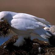 Snowy Owl, (Nyctea scandiaca) Male bringing grass to build bigger nest. Barrow, Alaska