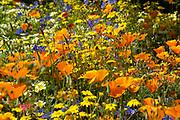 Californian poppy, Eschscholzia californica, Orange poppy's in flower in sunlight in a meadow. UK.
