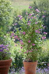 Pelargonium 'Pink Capitatum' (syn. Pink capricorn)in a terracotta pot