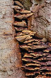 Dunne weerschijnzwam, Inonotus cuticularis