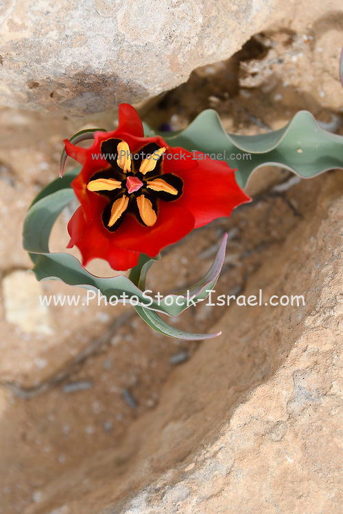 Red wild Tulipa systola (Desert Tulip) Photographed at the Lotz Cisterns in The Negev Desert Israel in March