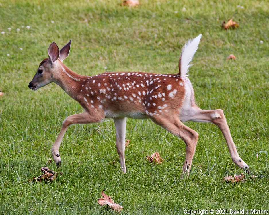 Fawn with Spots. Image taken with a Nikon 1 V3 camera and 70-300 mm  VR lens.