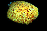 UNDERWATER MARINE LIFE EAST PACIFIC: Northeast SNAILS: Lemon sea slug Anisodoris nobilis