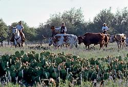 Group of cowboys herding longhorn cattle