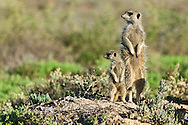 Adult and juvenile meerkats standing up to expose their bodies to the early morning sun's warmth after a night's sleep in a foraging burrow, De Zeekoe Ranch, Oudtshoorn, Western Cape, South Africa