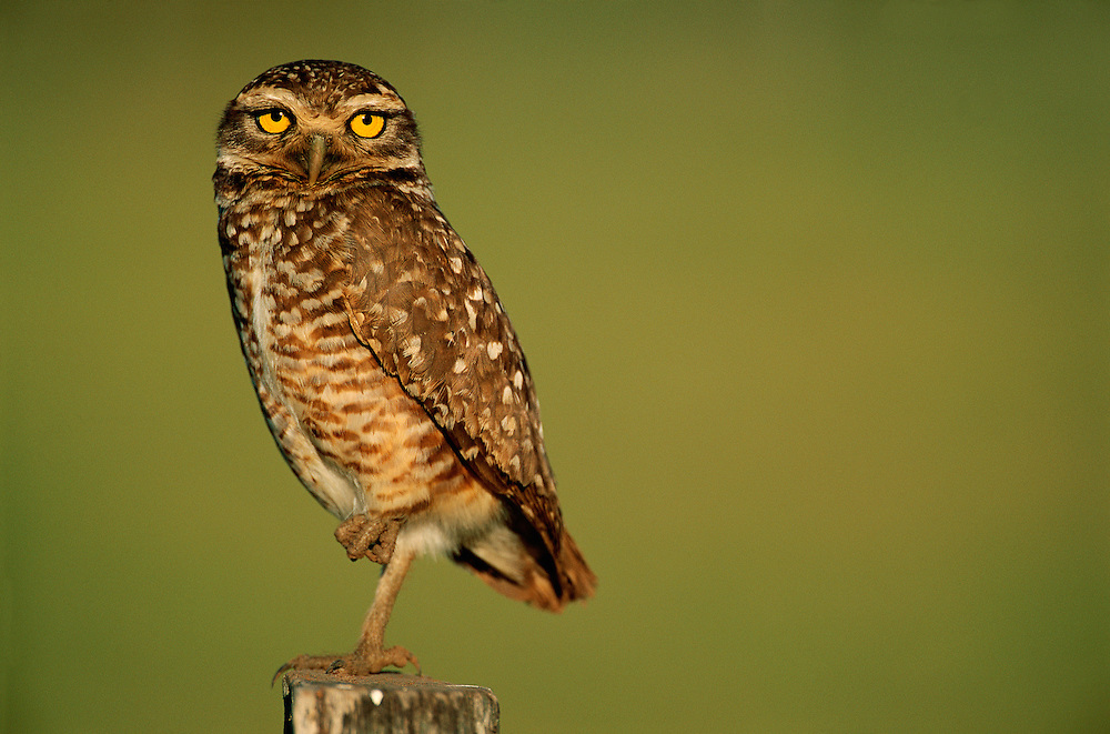 Burrowing Owl (Speotyto cunucularia) Pantanal, Brazil