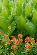 Paintbrush and Corn Lily,Mokelumne Wilderness, Eldorado National Forest, California