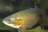 Steelhead Trout, Wolf River, WI<br /> <br /> Roger Peterson/ENGBRETSON UNDERWATER PHOTO