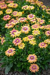 Osteospermum 'Serenity Blushing Beauty' - - African daisy