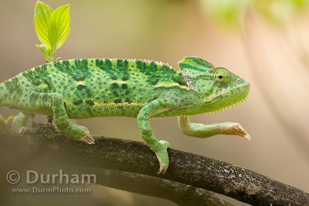 A juvenile female veiled chameleon (Chamaeleo calyptratus) hunting. Native range: North africa, Yemen to Saudi Arabia. Captive.