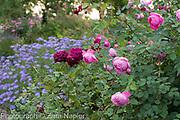 Rosa 'Munstead Wood' with Rosa 'Royal Jubilee' Englsih shrub roses bred by David Austin - September