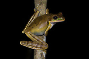 Mexican Tree Frog, Smilisca baudinii, Costa Rica, Baudin's Tree Frog and Van Vliet's Frog, clinging to tree branch