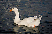 Domestic goose, raised for farmyard use, swimming on the River Cowes.....From Wikipedia, the free encyclopedia....Embden Geese according to the records are not a very old breed, only being cited for around 200 years. The origins of this breed are thought to be from Northern Europe, in Holland and Germany. The eminent authority, Lewis Wright, was of the opinion that they originated from the town of Emden in Lower Saxony, Germany, although another source, namely Edward Brown, in ??Race of Domestic Poultry?? believed that the breed was created by crossing the German White with the English White and then, by a process of careful selections, creating the goose as it is today. Others suggest that the English Embden?s great weight and size was produced by selective breeding with the Toulouse breed, which was then bred out leaving the large size of this breed...