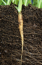 Showing carrot root system. Example of tap root
