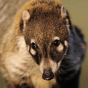 Coati (Nasua narica) inhabits the southwest United States.  Captive Animal.