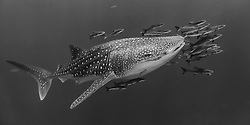 Critically endangered Whale Shark, Rhincodon typus, accompanied by a school of cobia, Rachycentron canadum. Gulf of Thailand
