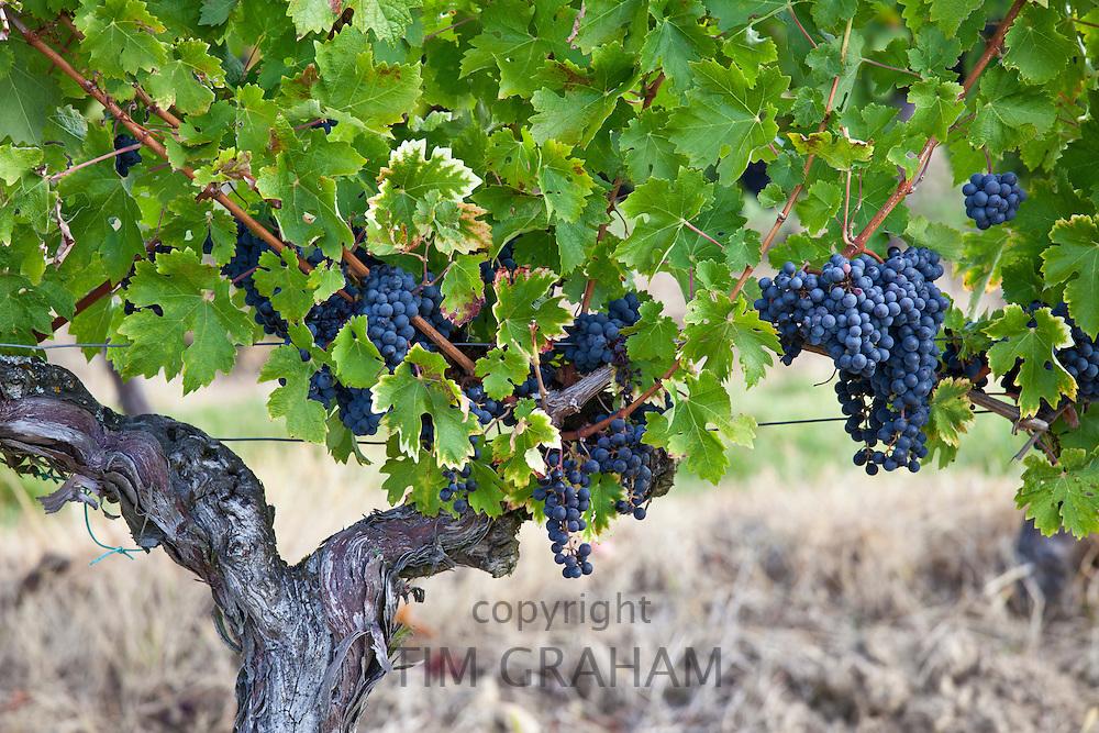 Merlot grapes ripe for harvesting from the vine in Bordeaux region of France