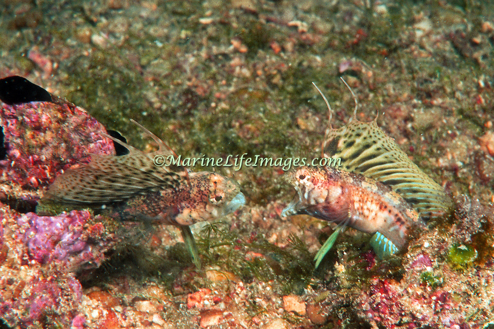 Spiny Sailfin Blenny inhabit barnacle shells in rubble areas at base of reefs in Venezuela and Grenadines; picture taken Margareta Is, Venezuela.