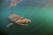 Basking sharks, Scotland