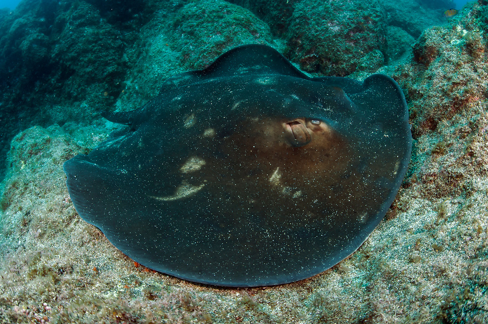 A Round Fantail Stingray, Taeniura grabata, swims along the rocky bottom on the Ilheus dive site in the channel between the islands of Faial and Pico in the Azores, Portugal, North Atlantic Ocean.