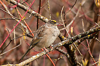 A golden-crowned sparrow at springtime starting to show hints of its summer coloration with the black feathers coming in above the eyes. This one was photographed in the Nisqually Delta near Olympia, Washington.