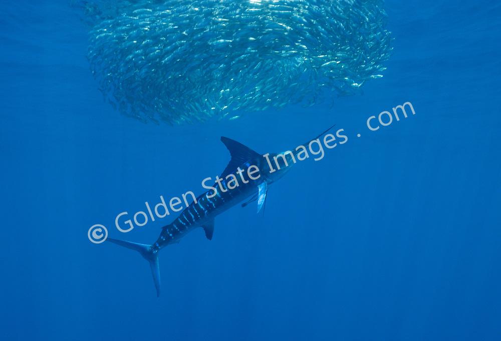 Striped Marlin on a Sardine Bait Ball