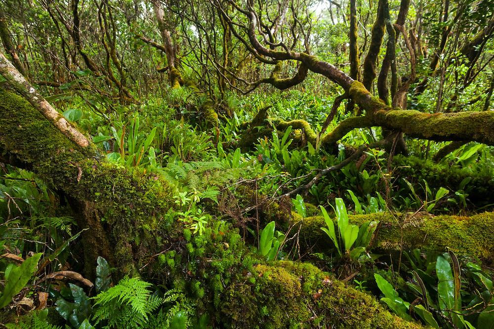 Forest understory blanketed in native Elaphoglossum ferns (Elaphoglossum sp.) along the Pihea Trail, Kokee State Park, Kauai, Hawaii.