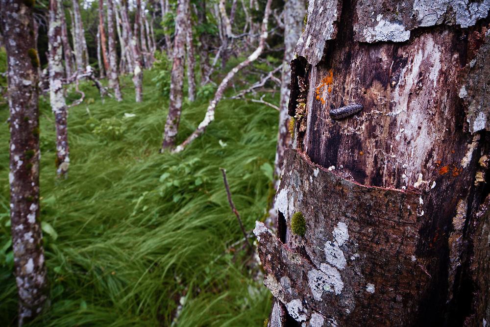 Dead Forest, Southern Appalachian Beech Gap, Beech bark disease