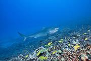 tiger shark, Galeocerdo cuvier, with small remora attached under lower jaw, swims over coral reef with school of bluestripe snapper or ta'ape, Lutjanus kasmira, Honokohau, Kona, Big Island, Hawaii, USA ( Central Pacific Ocean )