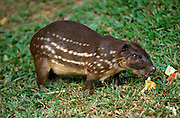 Spotted Paca or Lappe (Cuniculus paca) - captive, South America, good swimmer, striped and spotted pattern fur.Central America....