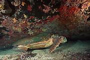 loggerhead sea turtle, Caretta caretta, sleeping under shipwreck off Grand Bahama Island, Bahamas ( Western Atlantic Ocean )