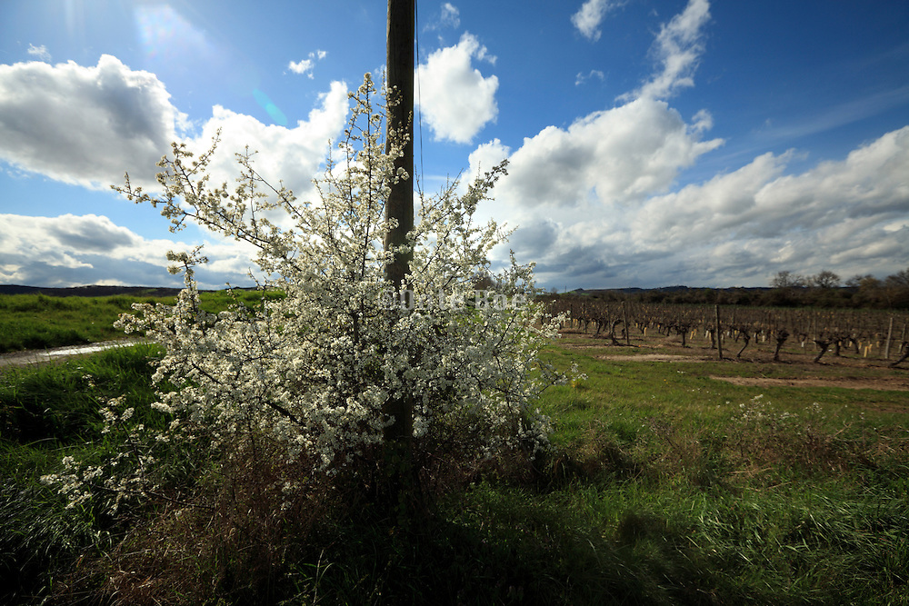 bush with white blossom in countryside France Languedoc