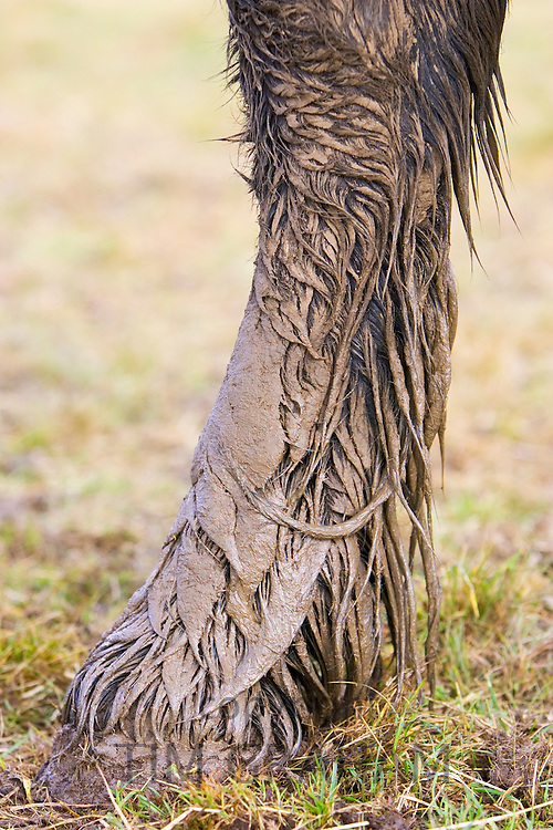 Mud covered horse's hoof, Gloucestershire, United Kingdom. In winter horses are at risk of mud fever.