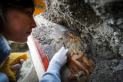 Archaeologists at Pompeii, South Italy, have found an erotic Roman fresco depicting Leda and the Swan, a Greek myth that has inspired artists for centuries on November 19, 2018. Leda was admired by Zeus, who seduced her in the guise of a swan. As a swan, Zeus fell into her arms for protection from a pursuing eagle. Their consummation, on the same night as Leda lay with her husband Tyndareus, resulted in two eggs from which hatched Helen (later known as the beautiful 'Helen of Troy'), Clytemnestra, and Castor and Pollux (also known as the Dioscuri). The swan's seduction of Leda was a potent subject for artists in Renaissance Italy in the 16th Century: it inspired paintings by Leonardo da Vinci, Michelangelo and Tintoretto, and many other artworks. PHOTO: ABACAPRESS.COM