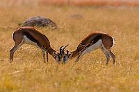 Springboks sparring, Lion Park, near Johannesburg, South Africa.
