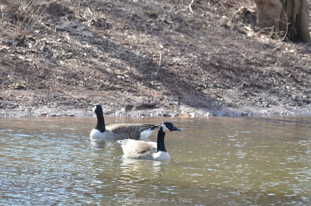 Two geese on the Raritan River in Hillsborough, NJ