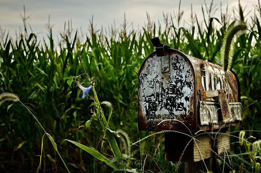 A rural mailbox in front of a corn field sports its own welcoming flower.