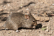 African Grass Rat, Arvicanthis niloticus dembeensis