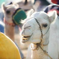 Dubai - United Arabs Emirates - 23 November 2008 - Robot controled camel race in Dubai...Photo: EZEQUIEL SCAGNETTI.