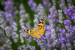 Tortoiseshell butterfly on Lavandula angustifolia Miss Muffet