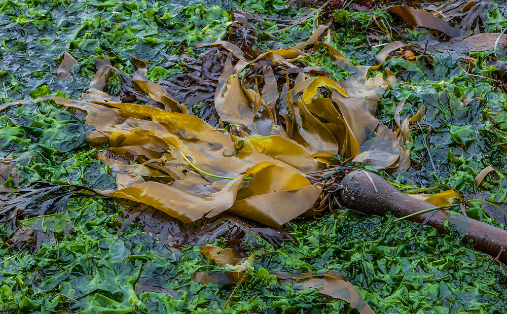 Kelp and seaweed bed at low tide along the Olympic penninsula coast, Pacific ocean, USA.