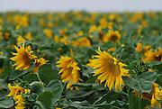 Israel, Field of sunflowers
