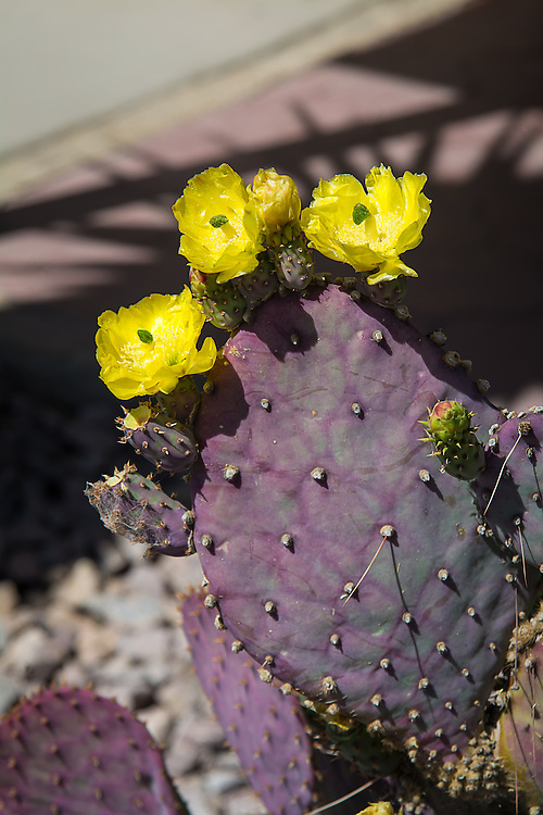 Also known as the purple prickly pear, this incredibly beautiful Mexican Opuntia cactus develops fantastic purple pads that perfectly compliment the bright yellow (sometimes red) flowers. Native to Northern Mexico from Baja California to the Chihuahuan Desert, its American range extends only into Pima County in Southern Arizona where these were found in peak bloom and photographed just outside of the park borders of the Organ Pipe Cactus National Monument.