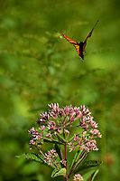 Monarch Butterfly leaving a Joe Pye Weed. Sourland Mountain Preserve. Image taken with a Nikon D800 camera and 300 mm f/2.8 lens (ISO 100, 300 mm, f/2.8, 1/1600 sec).