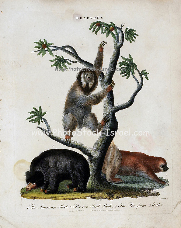 Three Sloths (Bradypus) The American sloth, Two Toed Sloth and uniform sloth [Three Toes Sloth] Copper engraving with hand colouring from Encyclopaedia Londinensis, or, Universal dictionary of arts, sciences, and literature [miscellaneous plates] by Wilkes, John Publication date 1796-1829
