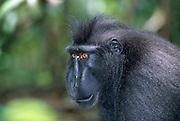This 30 year old Celebes Crested Macaque is lead the group of 35 apes. | Dies 30 Jahre alte Schopfmakaken-Männchen führt die Affengruppe aus 35 Tieren an.